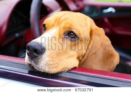 Funny cute dog in car