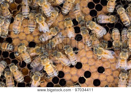 Honey Bees Exchange Food And Info