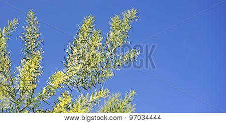 Bright Australian Spring Background Golden Wattle And Blue Sky