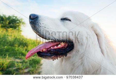 Dog on the field. Polish Tatra Sheepdog also known as Podhalan or Owczarek Podhalanski. Young adult