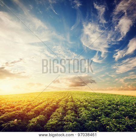 Potato crop field at sunset. Agriculture, professional cultivated area, farm poster