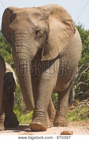 Elephant Cow