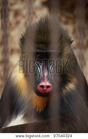 Mandrill (Mandrillus sphinx) in the cage. Wildlife animal.