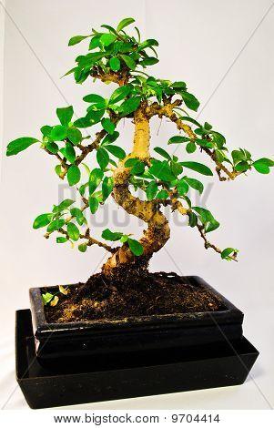 Green Bonsai Tree