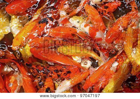 fancy carp or koi fish in pond poster