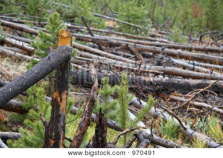 Bäume im Yellowstone-Nationalpark
