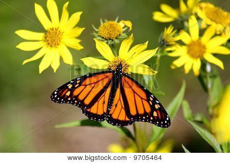 Monarch Butterfly (danaus plexippus) on Woodland Sunflowers (Helianthus divaricatus) poster