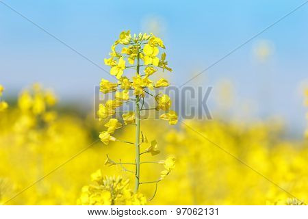 Close up of oil seed rape blooming