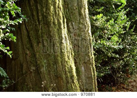 Forest - Closeup On Tree Trunk With Green Ambiance