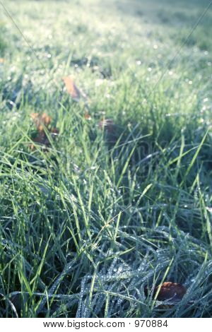 Snow Grass With Morning Drip