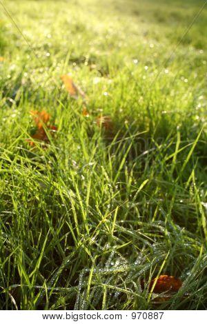 Morning Drip On Green Grass