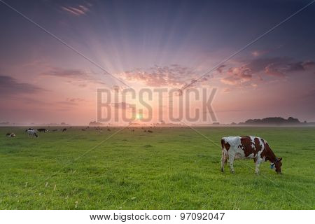 Cow Grazing On Pasture At Sunrise