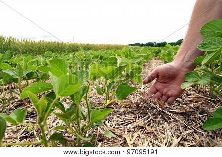 An Innovative Method Of Growing Grain Wheat, Soybeans, Corn. Hand Men On The Background Field. Humus