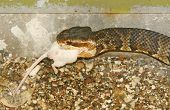 snake eating the white mouse in zoo poster