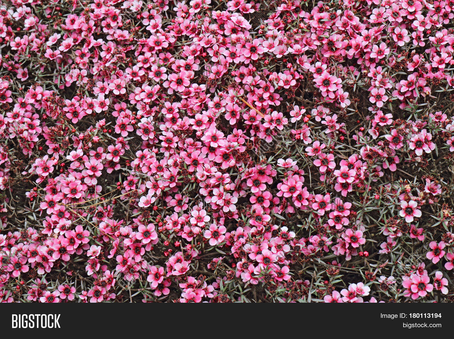 Numerous Small Pink Image Photo Free Trial Bigstock