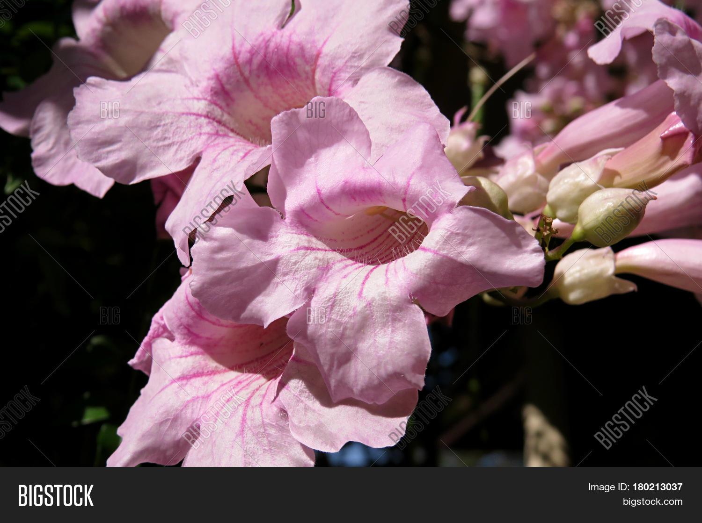 Pink Trumpet Vine Image Photo Free Trial Bigstock