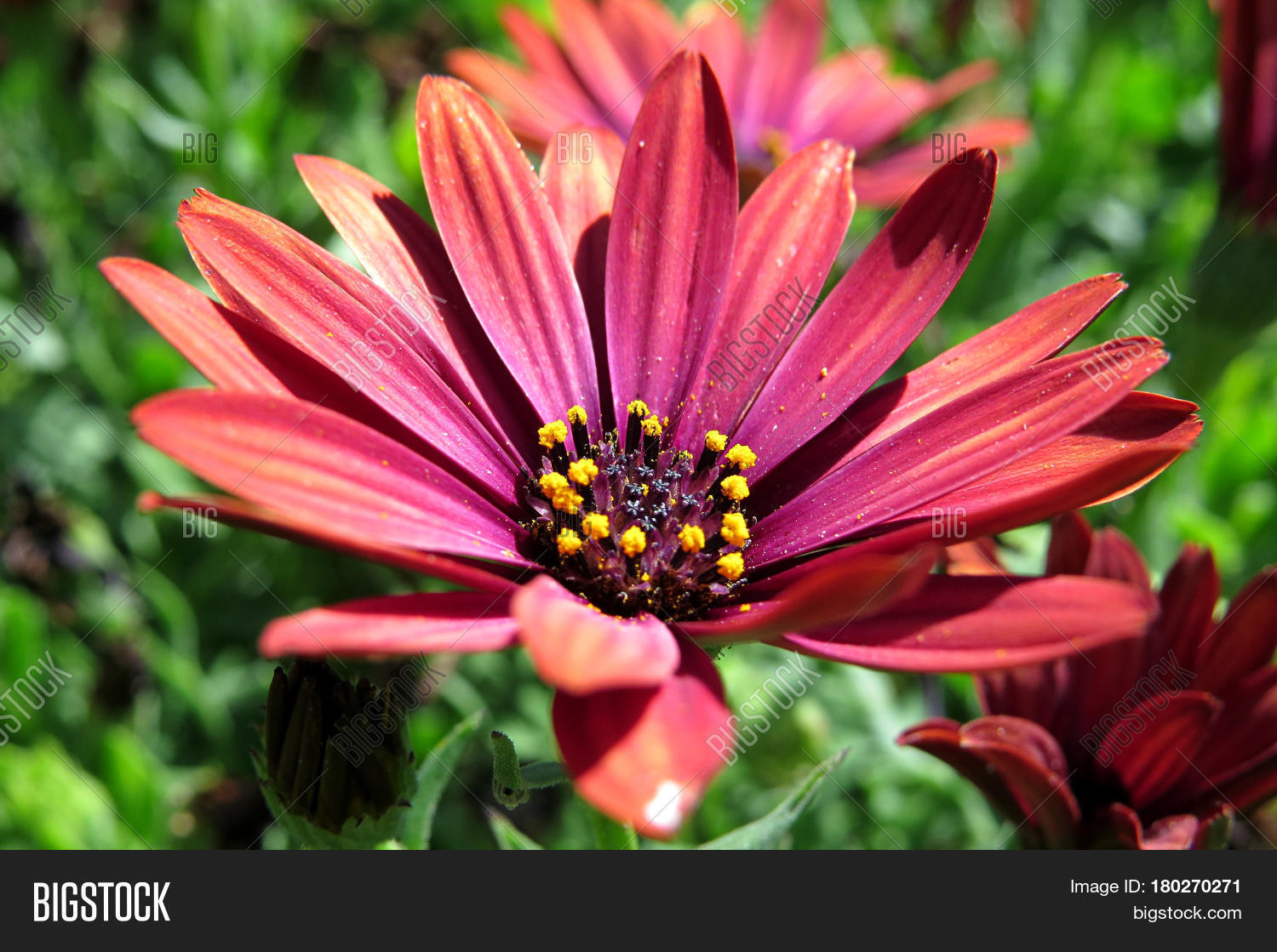 Gazania asteraceae image photo free trial bigstock gazania asteraceae flowers daisy like flower orange red purple burgundy petals in the garden izmirmasajfo
