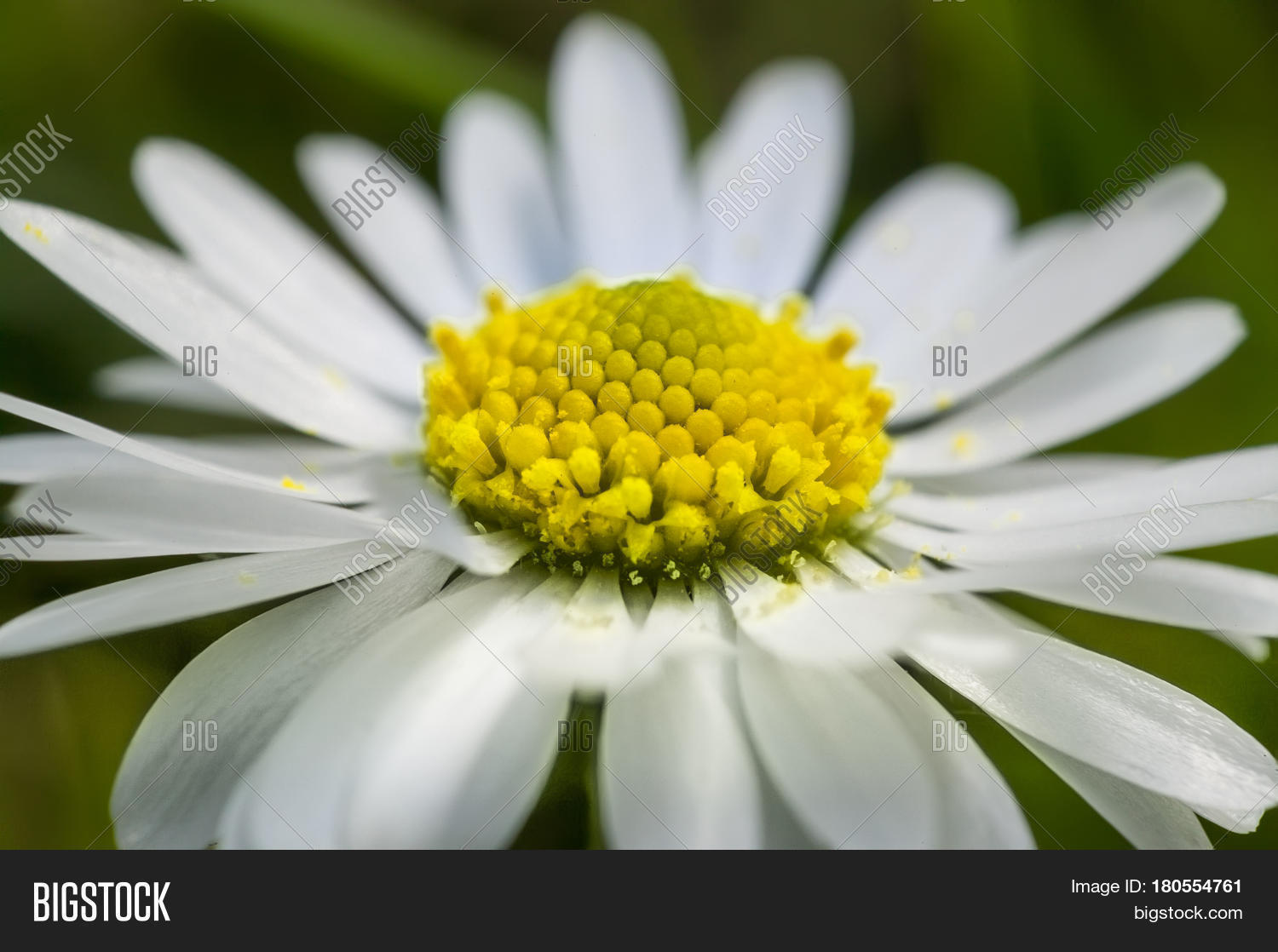 Enlarged section daisy flower image photo bigstock enlarged section of the daisy flower an explosion of color and details of a common izmirmasajfo Gallery