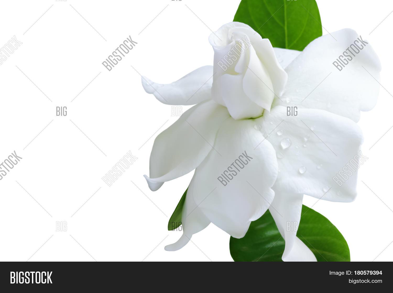 White flower clipping image photo free trial bigstock white flower and clipping path gardenia jasminoides or cape jasmine flower on white background izmirmasajfo