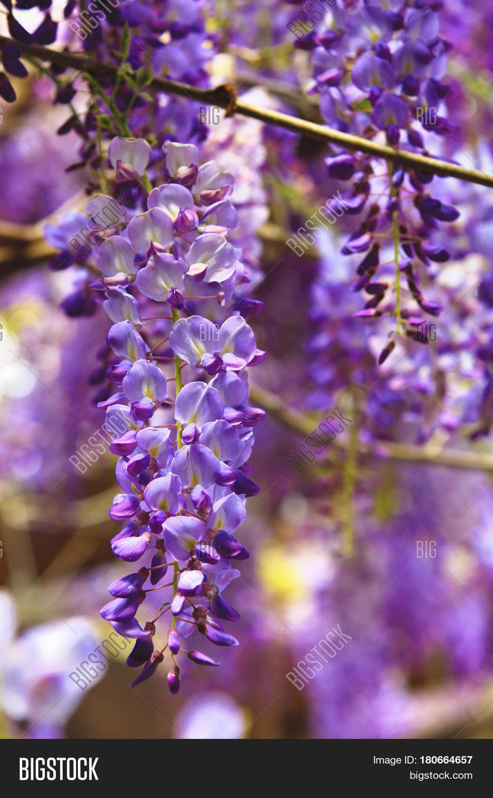 Purple wisteria image photo free trial bigstock purple wisteria flowersbeautiful scenery of purple with yellow flowers and buds blooming in the izmirmasajfo
