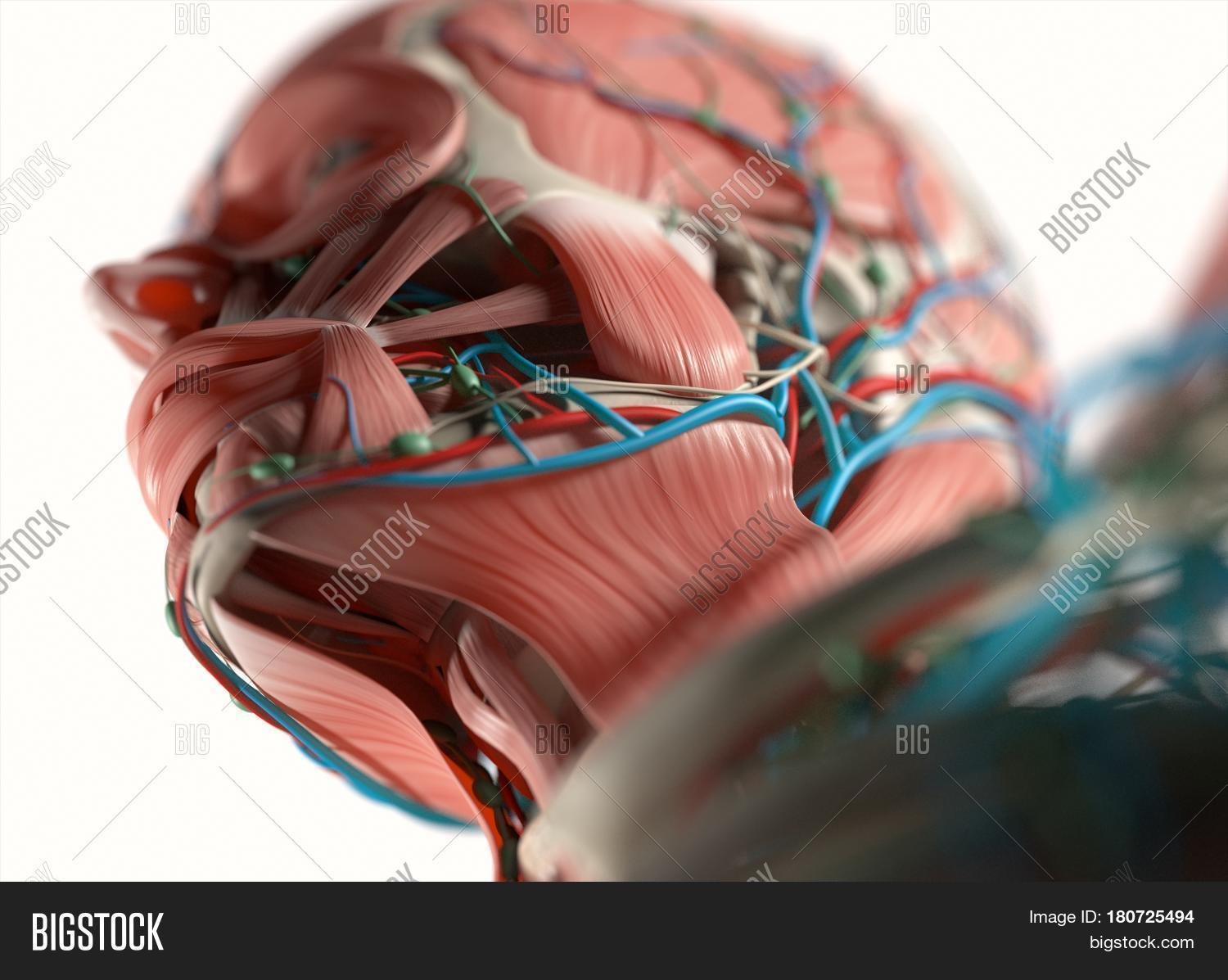 Anatomy Face. Muscular Image & Photo (Free Trial) | Bigstock