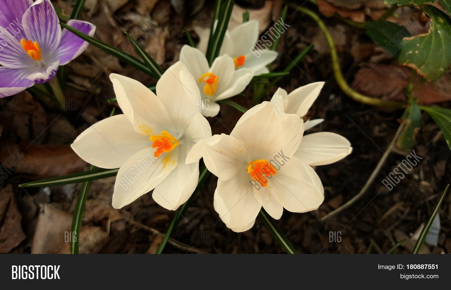 Crocus flowers white image photo free trial bigstock crocus flowers white blooming in early spring macro up close beautiful lovely mightylinksfo