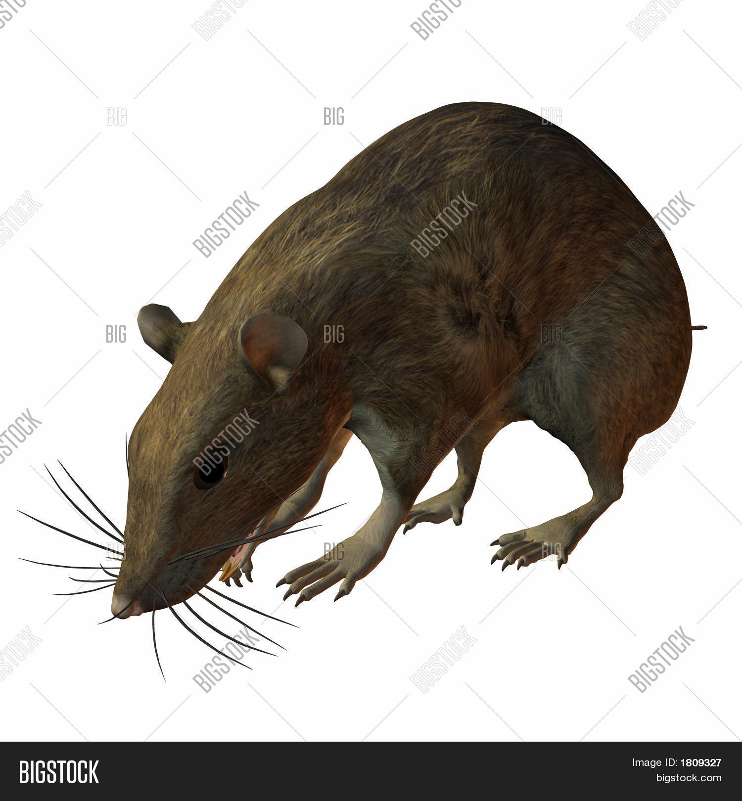 Imagen y foto Sabor De La Rata (prueba gratis) | Bigstock
