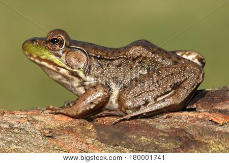 Close-up of a Green Frog (Rana clamitans) on a greenbackground