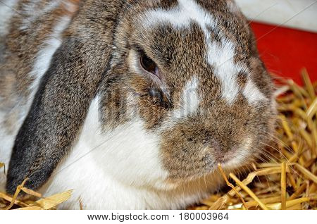 close up of lop-eared rabbit in straw