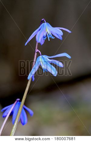 Nice abstract wild flowers scilla bifolia