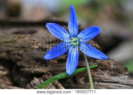 small wild blue flower in forest - scilla bifolia
