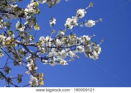 White Cherry blossom tree with blue sky, France.
