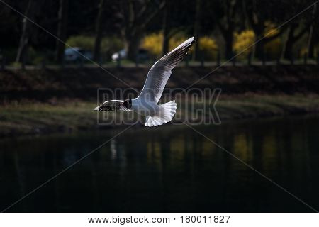 Gull flying over the Vah river in Piestany