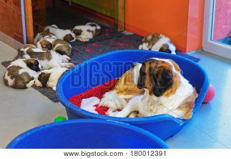 Saint Bernard Adult Dog With Puppies Sleeping In Kennel Martigny