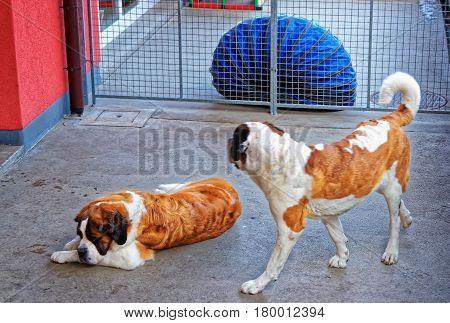 Saint Bernard Dogs In Breeding Kennel Martigny