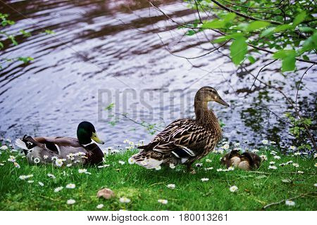 Ducks In Minnewaterpark And Minnewater Lake Of Brugge