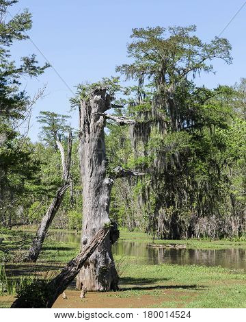 A live and bare cypress tree growing out of the water