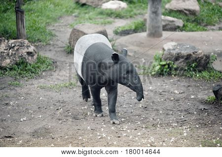 Malayan tapir (Tapirus indicus), also known as the Asian tapir.