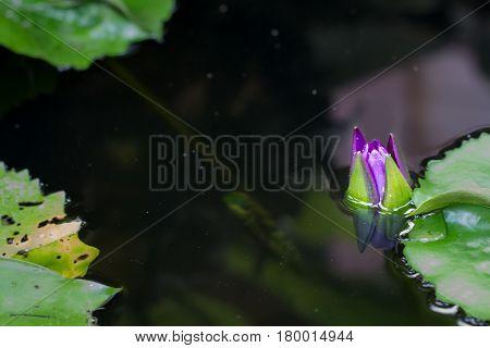 Flower Lotus under water. The Lotus Flower in water. Background is the lotus leaf and lotus flower and lotus bud and lotus flower.