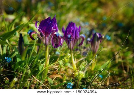 Wild flowers of the dwarf or low iris is a species of perennial herbaceous plants of the Iris family bloomed in the steppe