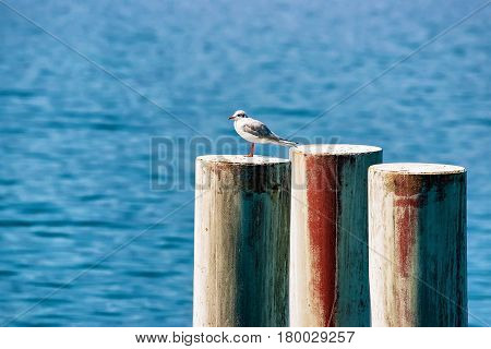 Seagull at Geneva Lake in Montreux Vaud canton Switzerland