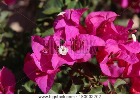 Bougainvillea plant with fuschia bracts surrounding a white flower against a background of dark green leaves