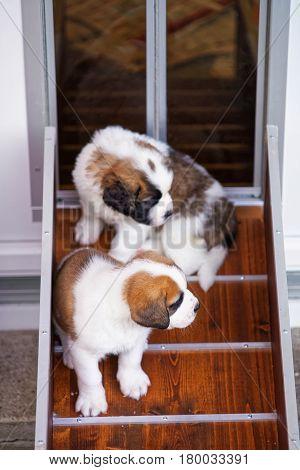 Little Saint Bernard Puppies Playing At Breeding Kennel Martigny
