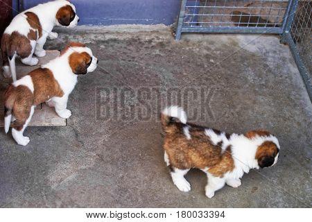 Little Saint Bernard Puppies Playing At Breeding Kennel In Martigny