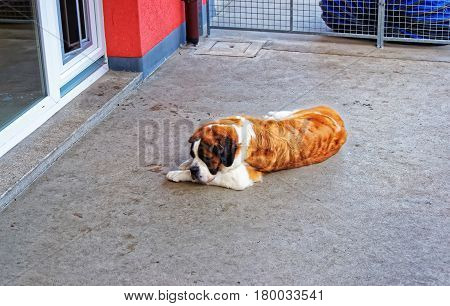 Saint Bernard Dog At Breeding Kennel Martigny