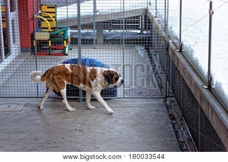 Saint Bernard Dog At Breeding Kennel In Martigny