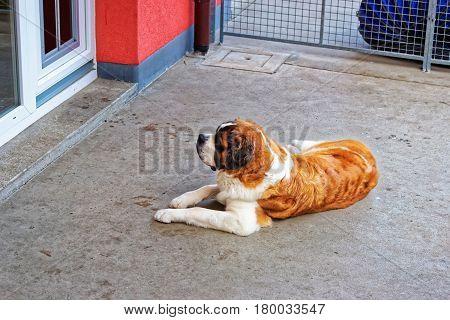 Saint Bernard Dog In Breeding Kennel Martigny