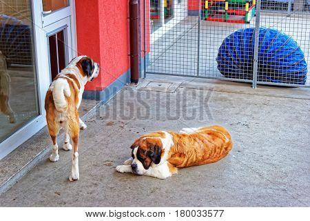 Saint Bernard Dogs In Breeding Kennel At Martigny