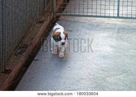 Saint Bernard Little Puppy At Breeding Kennel Martigny