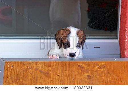 Saint Bernard Puppy At Breeding Kennel Martigny